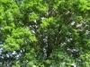 Un arbre remarquable en Cherest à Brindas