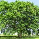 Un-arbre-remarquable-en-Cherest-Ã-Brindas-environ-18-m-de-hauteur-et-387-m-de-circondérence