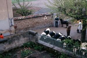 1976_jardin_vaches