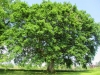 Un arbre remarquable en Cherest à Brindas, environ 18 m de hauteur et 3,87 m de circondérence